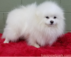 Beautiful Pomeranian puppies for good home