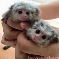 Home trained USDA license marmosets monkeys available