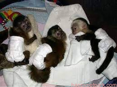 Home trained USDA license Capuchin monkeys for sale