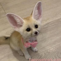 Adorable female fennec fox baby for sale