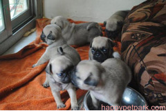 Very Affordable Pug Puppies Available