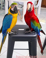 Healthy and Lovely Parrots for sale